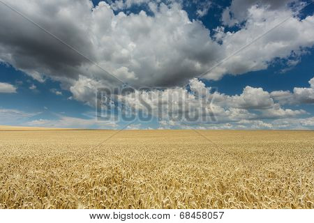 Field With Cereal Plants And Cumulus Clouds
