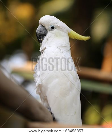 Portrait Of A White Cockatoo