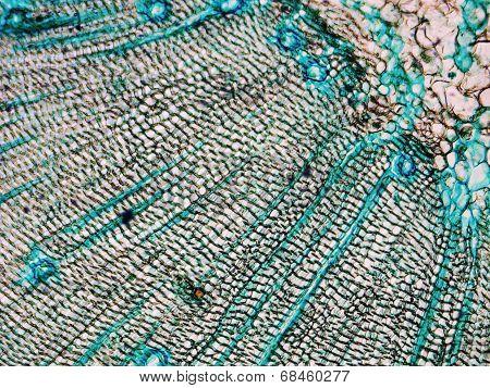 Pine Wood Micrograph