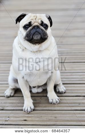Pug Sitting In Front Outdoors