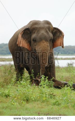 Asian Or Asiatic Elephant (elephas Maximus) ,ceylon