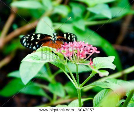 Defiant Butterfly
