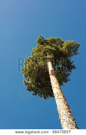 High Pine Trunks, Lush Crown And Soft Blue Sky