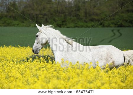 Nice White Furioso Running In Colza Field