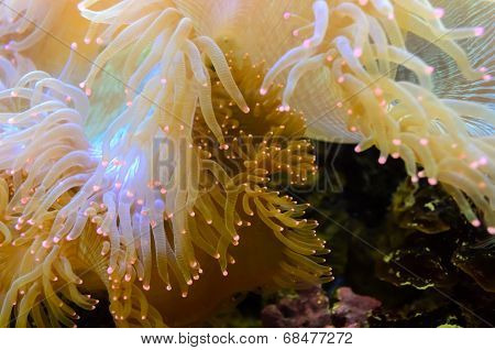 Anemones, Organism Of The Sea..