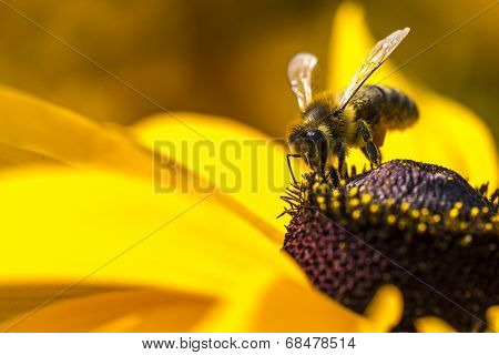 Close-up Photo Of A Western HoneyBee Gathering Nectar And Spreading Pollen On A Young Autumn Sun Co