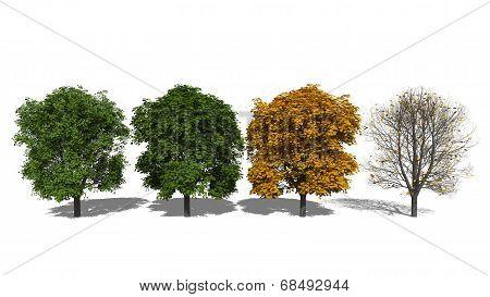 Aesculus Hippocastanum (four Seasons)