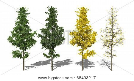 Ginkgo Biloba L. (four Seasons)