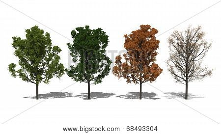 Quercus Rubra (four Seasons)