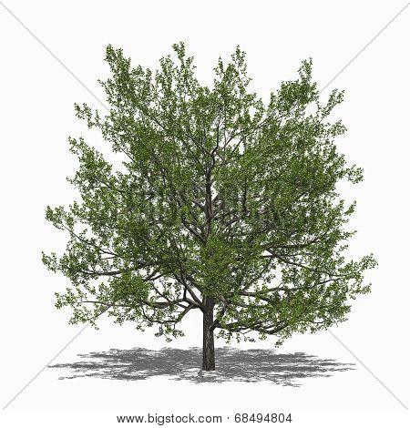 Quercus Rubra (summer)
