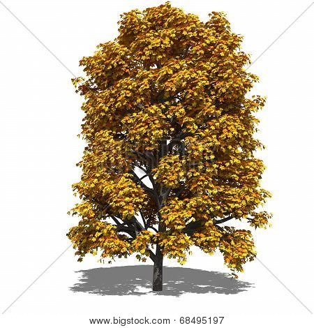 Aesculus Hippocastanum (autumn)