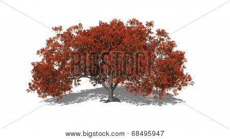 Delonix Regia (autumn)