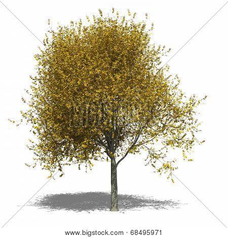 Tilia Cordata (autumn)