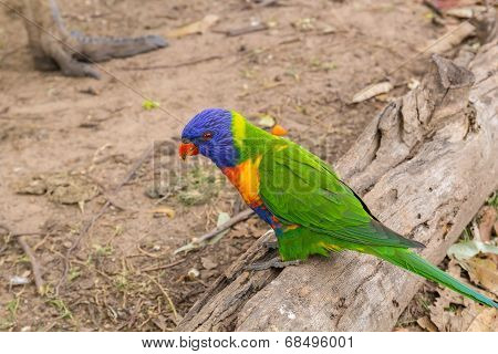 Parrot on the old log