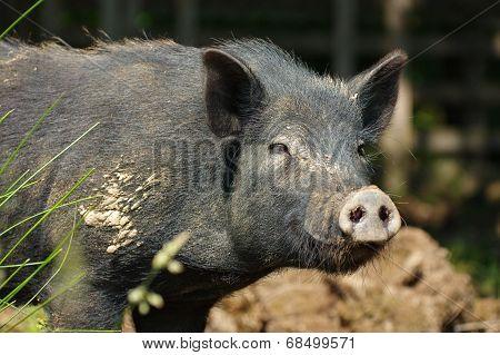 pig little black portrait 2