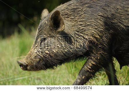 pig little black portrait