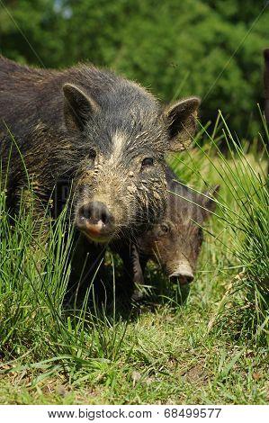 pigs little black 2
