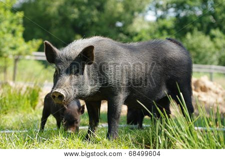 pig little black