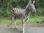 pic of excrement  - Zebra walking on the road. You can see its leftover excrement on the back of its body.