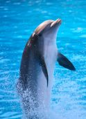 stock photo of dolphin  - A dolphin in a zoo in Tenerife - JPG