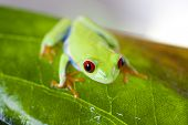 stock photo of red eye tree frog  - Red eye tree frog - JPG