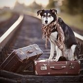 stock photo of dog tracks  - Dog on rails with suitcases - JPG