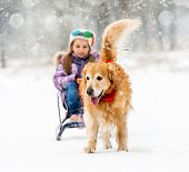 Furry Golden Retriever pulls the sledge with a little girl in the snow poster