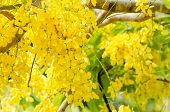 stock photo of cassia  - Golden shower or Cassia fistula flower in the garden or nature park Thailand - JPG