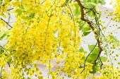 pic of cassia  - Golden shower or Cassia fistula flower in the garden or nature park Thailand - JPG