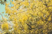 foto of cassia  - Golden shower or Cassia fistula flower in the garden or nature park Thailand vintage - JPG