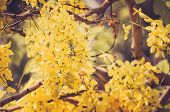 picture of cassia  - Golden shower or Cassia fistula flower in the garden or nature park Thailand vintage - JPG