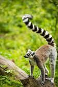 stock photo of fanny  - Lemur kata  - JPG