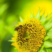 stock photo of dwarf  - Dwarf Sunflower or Helianthus annuus L - JPG