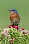 stock photo of bluebird  - Male Eastern Bluebird (Sialia sialis) on a rock with flowers