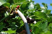 picture of mulberry  - Mulberry  - JPG