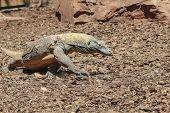 stock photo of komodo dragon  - Komodo Dragon in wildlife running among the rocks  - JPG
