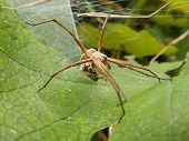 pic of baby spider  - A spider mother on a leaf carrying its future babies