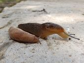 stock photo of slug  - Two slugs - JPG