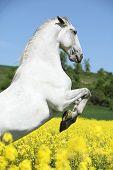 picture of lipizzaner  - Amazing white lipizzaner stallion prancing in spring - JPG