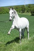 image of lipizzaner  - White lipizzaner showing itself on green pasturage - JPG