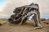pic of juniper-tree  - Gnarled Juniper Tree Shaped By The Wind at Sabinar - JPG