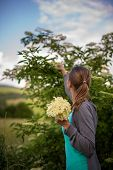 pic of elderflower  - Young woman picking elderflower to make an infusion at home - JPG