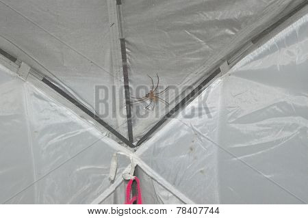 Spider On A Tent