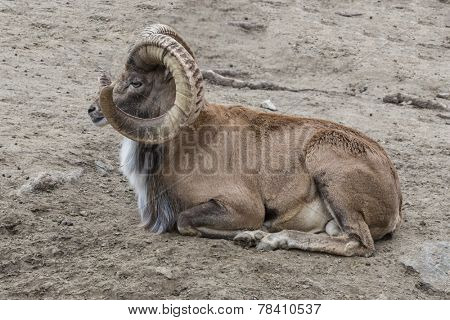 Rocky Mountain Bighorn Sheep, full curl trophy ram resting on ground