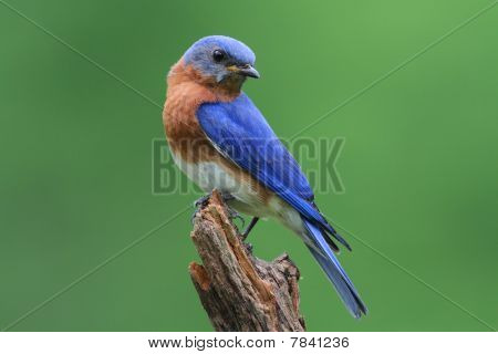 Bluebird On A Stump