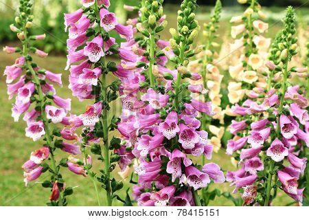 Common Foxglove flowers and buds