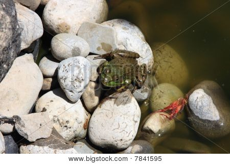 Small Frog Just Jumped On The Rocks.