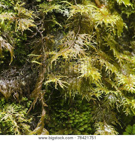 Shelf Moss