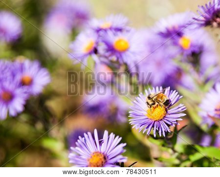 Bee closeup on purple aster flower.