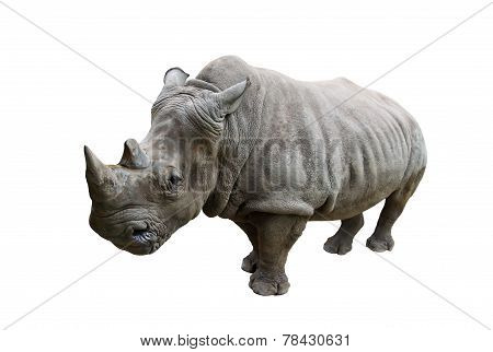 Rhino on white background.